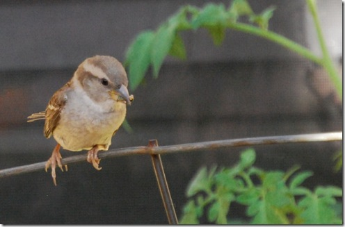 mama bird1